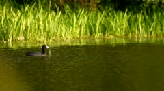 Wildlife in the lake, coot, duck (mallard) Stock Footage