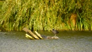 Coot in the pond Stock Footage