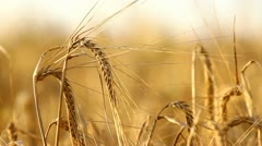 Wheat field close-up Stock Footage