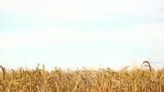 Bright wheat field background Stock Footage
