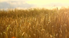 Golden wheat field at sunset, twisting view Stock Footage