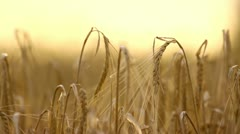 Wheat field close-up at sunset - stock footage