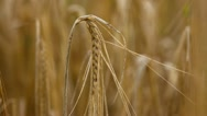 Close-up of a hand touching wheat Stock Footage