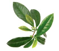 tea plant - stock photo