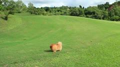 Pomeranian spitz running on the grass Stock Footage