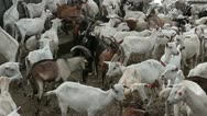 Goats 2 Stock Footage