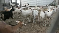 Goats 4 Stock Footage