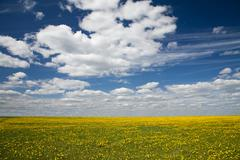 field of dandelions and blue sky with clouds - stock photo