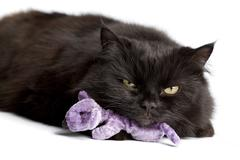 black cat with mouse toy isolated - stock photo
