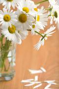 Bouquet of beautiful camomiles Stock Photos