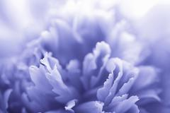 blue peony flower - abstract background - stock photo