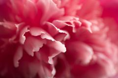 Abstract pink peony flower background Stock Photos