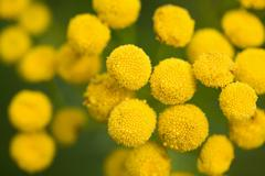 Yellow tansy flowers in the field Stock Photos