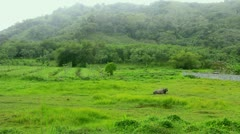Phuket's landscape. Rainy day with fog and buffalo lying on the grass Stock Footage