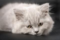 Sleepy british kitten over black background Stock Photos