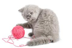british kitten playing with pink clew isolated - stock photo