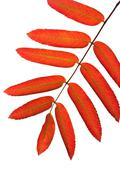 Autumn red rowan leaves isolated Stock Photos