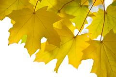 Beautiful autumn leaves isolated Stock Photos