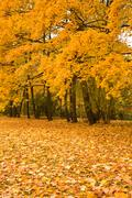Stock Photo of golden maple trees in the park