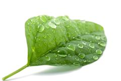 wet leaf isolated - stock photo
