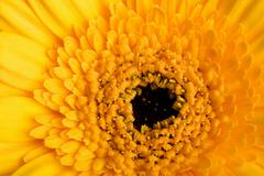 Stock Photo of macro of yellow daisy