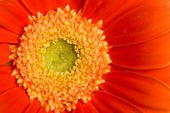Stock Photo of macro of red daisy