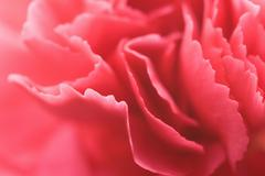 petals of carnation - stock photo