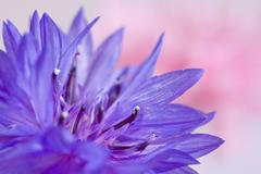 Macro fo cornflower Stock Photos