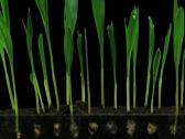 Stock Video Footage of Time-lapse of growing maize vegetables 5b3 (DCI-2K)
