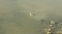Baby Western grebe Stock Footage