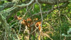 Fawn or baby deer in thicket 04 Stock Footage