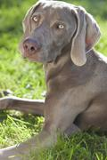 weimaraner dog laying on grass in sunshine - stock photo