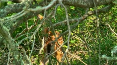 Fawn or baby deer in thicket 03 Stock Footage
