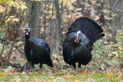 Wild turkey Stock Photos