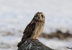 Short eared owl Stock Photos