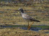 Lesser yellow-legs Stock Photos