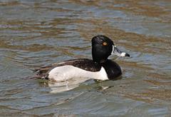 Ring-necked duck Stock Photos