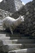 alpaca descending inca stairway - stock photo