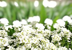 White flowers and green grass Stock Photos