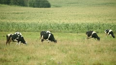 Cows Stock Footage