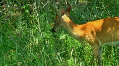 Yearling buck white tail deer 03 Stock Footage