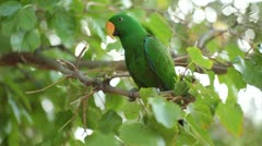 Male Eclectus Parrot in Tree Rack Focus Stock Footage
