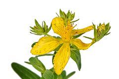 Flower of hypericum (latin hypericum) Stock Photos