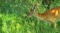 Yearling buck white tail deer Stock Footage