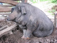 Black Thai pig Stock Photos