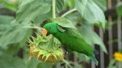 Eclectus Parrot Eating a Sunflower Stock Footage