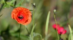 Red Poppy Flower Stock Footage