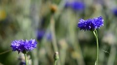 Blue Cornflowers - stock footage
