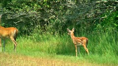 Stock Video Footage of mother deer and spotted fawn run away