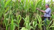 Farm worker in a cornfield Stock Footage